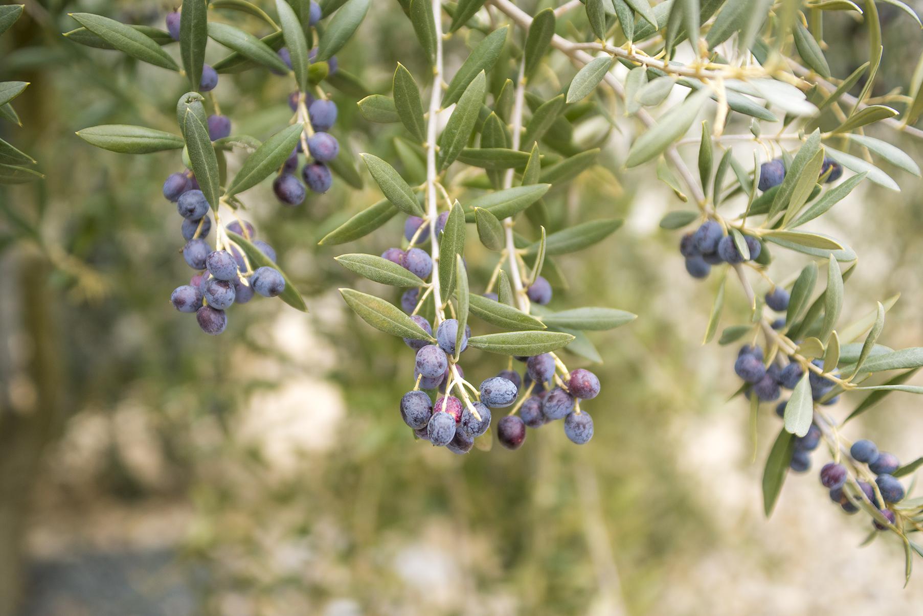Fotografía de olivo para contextualizar el diseño de etiquetas aceite de oliva olivogobeo