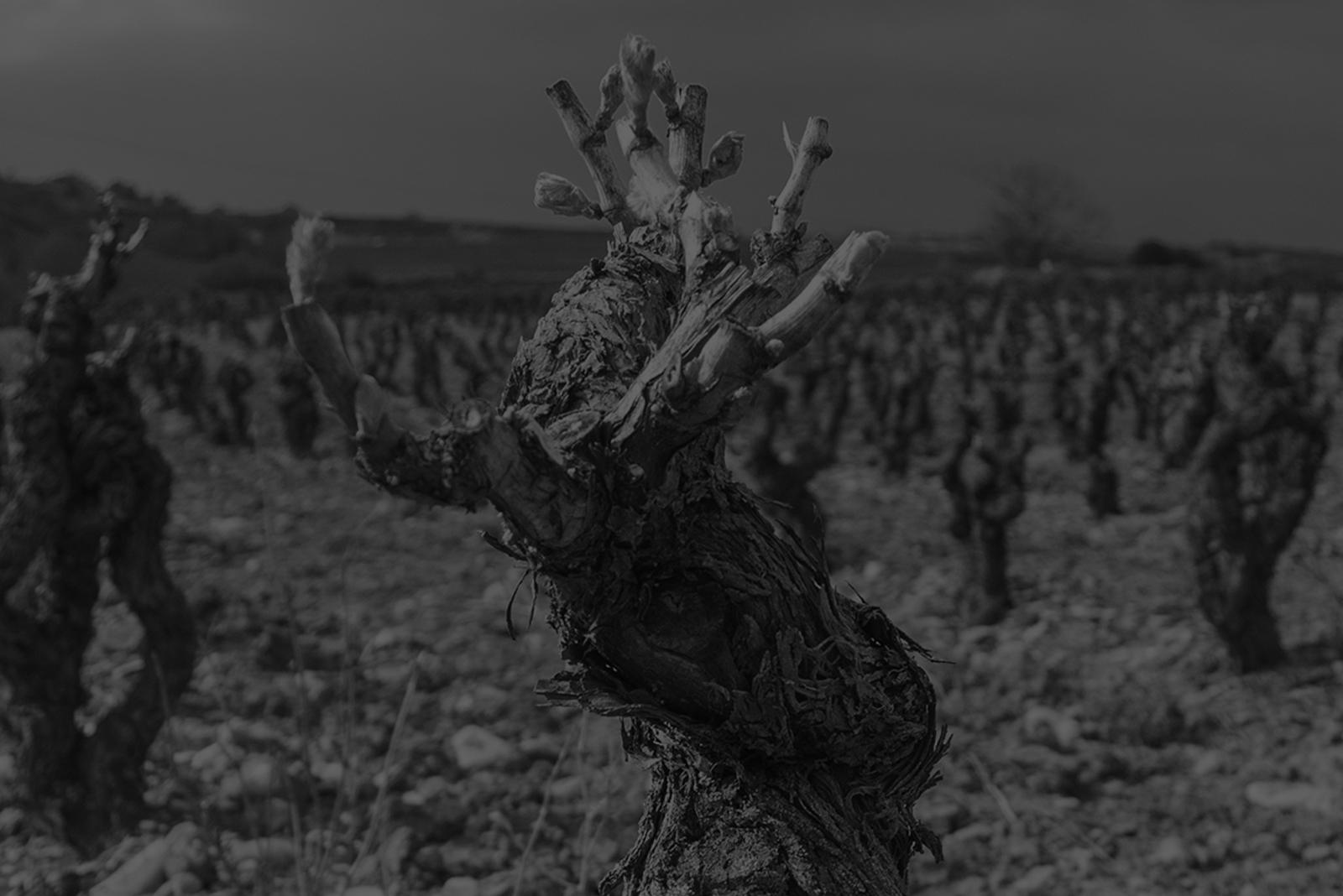 Fotografía en blanco y negro de un viñedo de San Asensio.